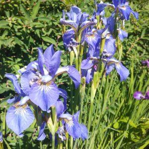 Iris sibirica sininen