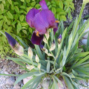 Iris lila