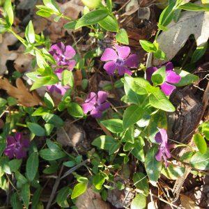 pikkutalvio lila